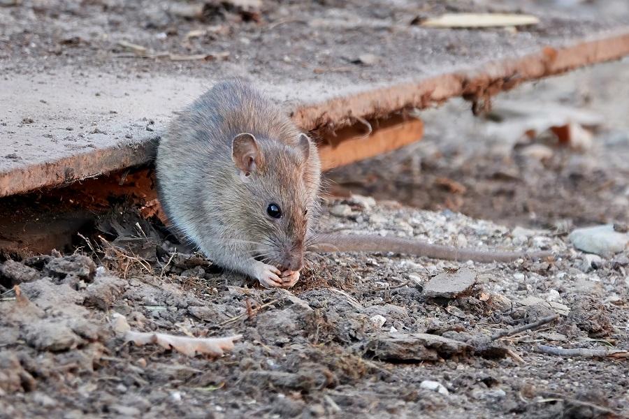Repellente topi: come usare e dove trovare